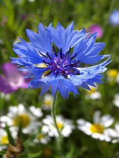 Búzavirág, Centaurea cyanus - gazigazito.hu Colours, Flowers, Plants, Plant, Royal Icing Flowers, Flower, Florals, Floral, Planets