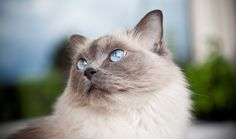 dog like cat breeds | Cute Cats Pictures