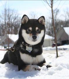 Shiba Inu - Dogs and Cats Wiki
