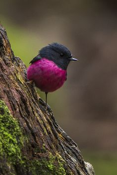 Pink Robin(Petroica rodinogaster_ photographed by Francesco Veronesi at Mt.Field, Tasmania, Australia on September 2015 Cute Birds, Pretty Birds, Beautiful Birds, Animals Beautiful, Cute Animals, Exotic Birds, Colorful Birds, Australian Birds, Bird Pictures
