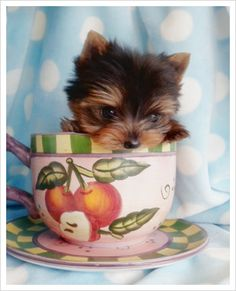 Teacup Yorkshire Terrier Puppy  Favorite Dog Ever!