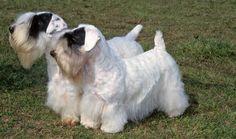 A pair of sealyham terriers