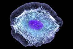 Le strutture che permettono alle cellule di muoversi (fonte: Torsten Wittmann, UCSF)