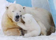 On International Polar Bear Day, let's celebrate the largest of the bear species with these magnificent polar bear photos. Polar Bear Names, Polar Bears Live, Polar Bears International, Bear Species, My Family Photo, Bear Photos, Lion Cub, Pictures Of The Week, African Elephant