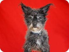 Pasadena, CA - Poodle (Miniature)/Cairn Terrier Mix. Meet MILA, a dog for adoption. http://www.adoptapet.com/pet/17156797-pasadena-california-poodle-miniature-mix