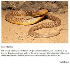 10 Lethal Animals You'd Never Want To Meet - Most Dangerous Animals Inland Taipan, Funny Animals, Cute Animals, Dangerous Animals, Wildlife, Meet, Venom, Snakes, Reptiles