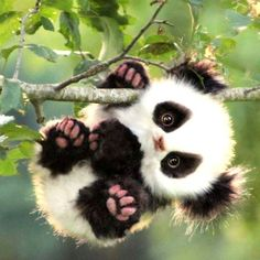 Baby panda bear clinging for a tree branch Baby Animals Super Cute, Cute Little Animals, Cute Funny Animals, Baby Animals Pictures, Cute Animal Pictures, Baby Panda Pictures, Adorable Pictures, Funny Pictures, Cute Puppies