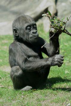 cutest baby gorilla