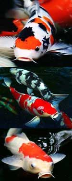 Koi patterns