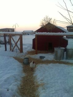 keep the hens feet warmer in winter by laying down hay on top of the snow