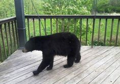 Dry summer means more encounters with hungry bears http://www.burlingtonfreepress.com/viewart/20120809/NEWS05/120809001/Dry-summer-means-more-encounters-hungry-bears-?odyssey=tab|topnews|text|FRONTPAGE
