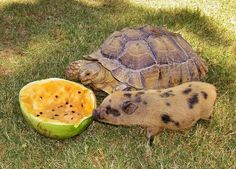mini piglet, Roomba, sharing watermelon with young Sucata tortoise, Fluffy.