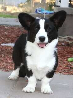 Beautiful! Cardigan WelshCorgi, Kennebec Black Magic