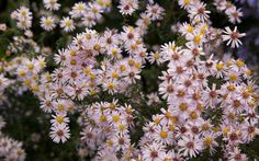Aster 'Pink Cloud'