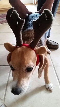 Beautiful wearing her reindeer antlers from Luxury-dog-gifts.myshopify.com.