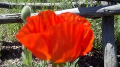 Poppy at Riversong