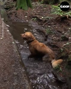 Golden Retriever Dog Plays In Filthy Mud Puddle - Funny Animals