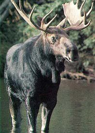 Moose. These animals are BIGGER then a horse ~!~