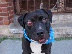 SUPER URGENT 6/14/14 Brooklyn Center  CLAUDE - A1003268  MALE, BLACK / WHITE, AM PIT BULL TER MIX, 7 yrs OWNER SUR - EVALUATE, NO HOLD Reason OWNER SICK  Intake condition INJ SEVERE Intake Date 06/14/2014, From NY 11203, DueOut Date 06/14/2014, I came in with Group/Litter #K14-181562.  https://www.facebook.com/photo.php?fbid=821925024487045&set=a.617942388218644.1073741870.152876678058553&type=1