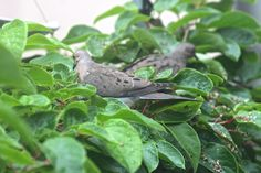 A pair of mourning doves enjoy a picnic, using my Kiwi Vines' foliage as a serving dish! View Two. Story @ http://www.thelastleafgardener.com/2013/05/visiting-birds-cb-feeder.html#more