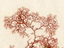 Plocamium uncinatum
