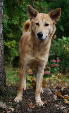 The Canaan dog, a beautiful and not very well known breed that reminds me of and resembles a dingo of Australia, even though the breed came from Israel.