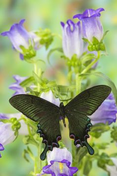 Asian Tropical Swallowtail Butterfly, Papilio syfanius, photography by:  Darrell Gulin