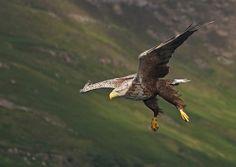 White Tailed Sea Eagle, Scotland