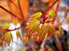 acer wou nishiki Japanese maple such beautiful spring foliage