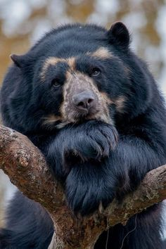 """This is one of those rare shots that truly shows personality. This is """"pensive."""" black bear"""