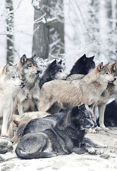 Wolf Pack (by Micha Roder) Wolf Photos, Wolf Pictures, Animal Pictures, Wolf Spirit, My Spirit Animal, Beautiful Creatures, Animals Beautiful, Tier Wolf, Animals And Pets