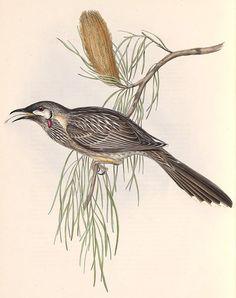 Red Wattlebird - Anthochaera carunculata Artwork: John Gould, 'The Birds of Australia', 1848. Original Scanned Image