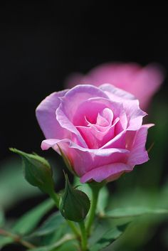 But he who dares not grasp the thorn  Should never crave the rose. ~~ Anne Brontë ~~ ♥ X ღɱɧღ