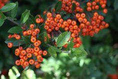 Lovely orange berries from Honey Mommy