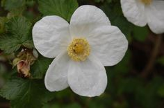 Rubus deliciosus 'Bendenden'