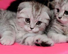 Scottish fold kittens, I want!: 3Cats 3, Kitty Cats, 11 Scottish Fold, Killinger Kittens, Scottish Folds 3, Scottish Fold Kittens, Babies Puppies Kittens, Scottish Fold Cat, Fold Kitties