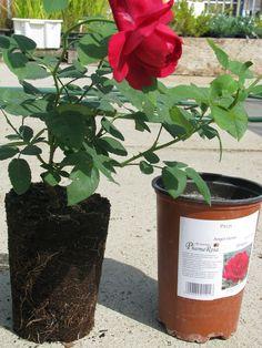 Fejlett gyökérzetű rózsatő Pergola, Planter Pots, Outdoor Pergola