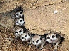 Meerkats are primarily insectivores, but also eat lizards, snakes, scorpions, spiders, plants, eggs, small mammals, millipedes, centipedes and, more rarely, small birds.