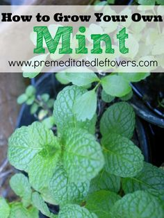 How to Grow Mint, including how to plant mint seeds and seedlings, how to plant mint in containers, and how to care for mint seeds and seedlings.: