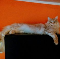 Maine Coon Galileo from Italy.
