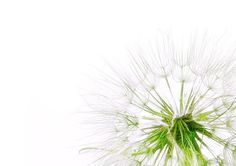 Minimalist Dandelion Photo:  This Photo was uploaded by MeaghanMoss. Find other Minimalist Dandelion pictures and photos or upload your own with Photobuc...