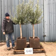 We take great pride in our Olive Trees, the perfect way to add a Mediterranean atmosphere to your home and garden Villaggio Verde the specialist Buy Olive Tree, Door Tree, Contemporary Planters, Potted Trees, Plastic Injection Molding, Garden Tools, Home And Garden, Office Interiors, Pots