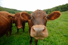 Shut the front door! 7 Percent of Americans think brown cows produce chocolate milk – NaturalNews.com
