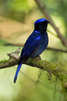 Blue Niltava (male). The bird is native to the mountainous region of the Himlalayas, such as Nepal, India and China and then Sumatra.