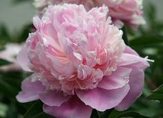 Paeonia lactiflora 'Koningin Wilhelmina'