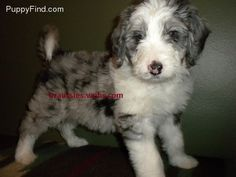 AussieDoodle...my new puppy obsession.