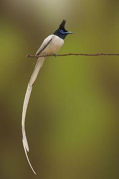 Asian Bird of Paradise