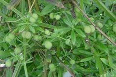 Cleavers fruits