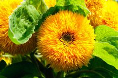 Sunflower Teddy Bear (T) - Sunflowers - Flowers S - Alpha Search for Flowers - Kings Seeds (NZ) Ltd Planting Bulbs, Planting Seeds, Dwarf Plants, Growing Sunflowers, Colorful Garden, Exotic Plants, Sunflower Seeds, Easy Garden, Cut Flowers