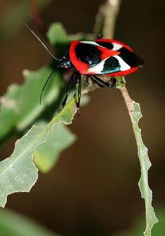 Ixora Shield Bug (Catacanthus punctus)